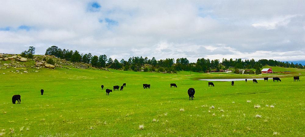 Field_cows